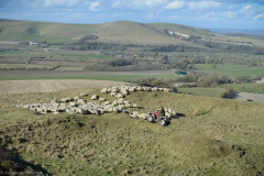 Bringing ewes down Beddingham hill