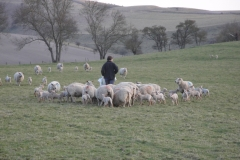 Ewes & charollais lambs in Lay field